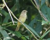 Chestnut-bellied Seed Finch