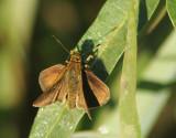 Hesperiidae sp.