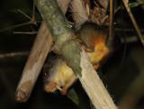 Amazon Bamboo Rat