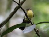 Black-tailed Myiobius