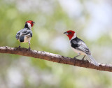 Red-cowled Cardinal