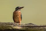 Eisvogel | Common Kingfisher | Alcedo atthis