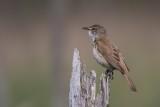 Drosselrohrsänger | Great Reed Warbler | Acrocephalus arundinaceus