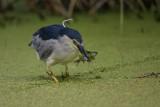 Nachtreiher | Black-crowned Night Heron | Nycticorax nycticorax