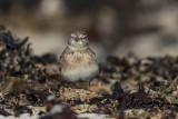Kurzzehenlerche | Greater Short-toed Lark | Calandrella brachydactyla