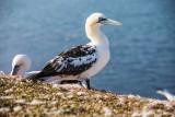 Basstölpel | Northern Gannet | Morus bassanus