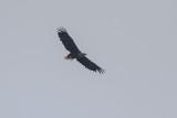Seeadler | White-tailed Eagle | Haliaeetus albicilla