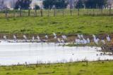 Silberreiher | Great Egret | Ardea alba
