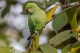 Halsbandsittich | Rose-ringed Parakeet | Psittacula krameri