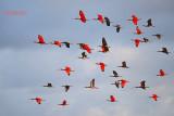 Rode Ibis - Scarlet ibis - Eudocimus ruber