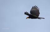 Grote Geelkopgier - Greater Yellow-headed Vulture - Cathartes melambrotus