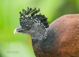 Guans, Chachalacas, and Curassows