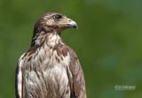 Savannebuizerd - Savanna Hawk - Buteogallus meridionalis