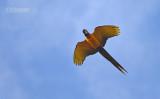 Blauwgele ara - Blue and Yellow Macaw - Ara ararauna