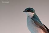 Mangrovezwaluw - Mangrove Swallow - Tachycineta albilinea
