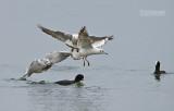 Kokmeeuw - Black-headed gull - Larus ridibundus and Meerkoet - Coot - Fulica atra