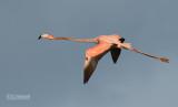 Rode Flamingo - Caraïbische flamingo - Phoenicopterus ruber