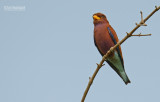Breedbekscharrelaar - Broad-billed Roller - Eurystomus glaucurus