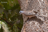 Zwartsnavelduif - Black-billed Wood Dove - Turtur abyssinicus