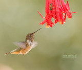 Vulkaankolibrie - Volcano Hummingbird - Selasphorus flammula torridus