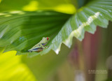 Roodoogmakikikker - Red-eyed Tree Frog - Agalychnis callidryas