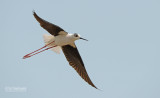 Steltkluut - Blackwinged stilt - Himantopus Homantopus