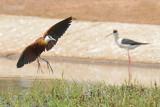 Lelieloper - African Jacana - Actophilornis africanus