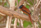 Roodbuikparadijsmonarch - Red-bellied Paradise Flycatcher - Terpsiphone rufiventer
