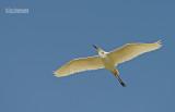 Kleine zilverreiger - Little Egret - Egretta Garzetta