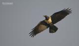 Schildraaf - Pied Crow - Corvus albus