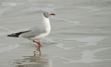 Grijskopmeeuw - Gray-headed gull - Larus cirrocephalus