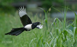 Ekster - Black-billed magpie - Pica pica