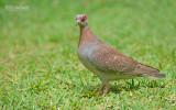 Guineaduif - Speckled Pigeon - Columba guinea