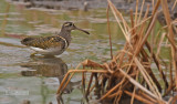 Goudsnip - Greater Painted-snipe - Rostratula benghalensis