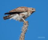 Madagaskarkoekoekswouw - Madagascan Cuckoo-Hawk - Aviceda madagascariensis