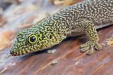 Standing's day gecko - Phelsuma standingi