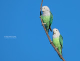 Grijskopagapornis - Grey-headed Lovebird - Agapornis canus ablectaneus