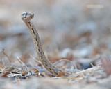 Mahafaly Sand Snake - Mimophis mahfalensis