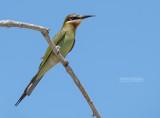 Madagaskarbijeneter - Olive Bee-eater - Merops superciliosus superciliosus