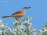 Duinrotslijster - Littoral Rock-Thrush - Monticola imerina