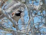 Roodschoudervanga - Red-shouldered Vanga - Calicalicus rufocarpalis