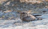 Madagaskarnachtzwaluw - Madagascar Nightjar - Caprimulgus madagascariensis madagascariensis