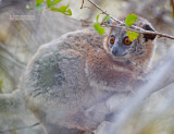 Witvoetwezelmaki - White-footed sportive lemur - Lepilemur leucopus