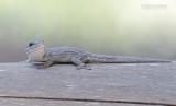 Thicktail Day Gecko - Phelsuma mutabilis