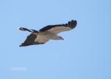Holenkiekendief - Madagascar Harrier-Hawk - Polyboroides radiatus