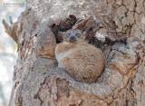 Zombitse wezelmaki - Zombitse sportive lemur - Lepilemur hubbardi