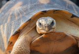 Stralenschildpad - Radiated tortoise - Astrochelys radiata