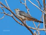 Madagaskarkoekoek - Madagascar Cuckoo - Cuculus rochii