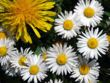 Dandelion and Daisies