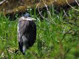 Heron Hiding in The Hoh
